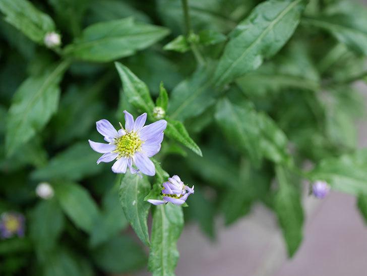 うすい紫のミヤコワスレ(ノシュンギク)の花が咲いた。2021年-009.jpg