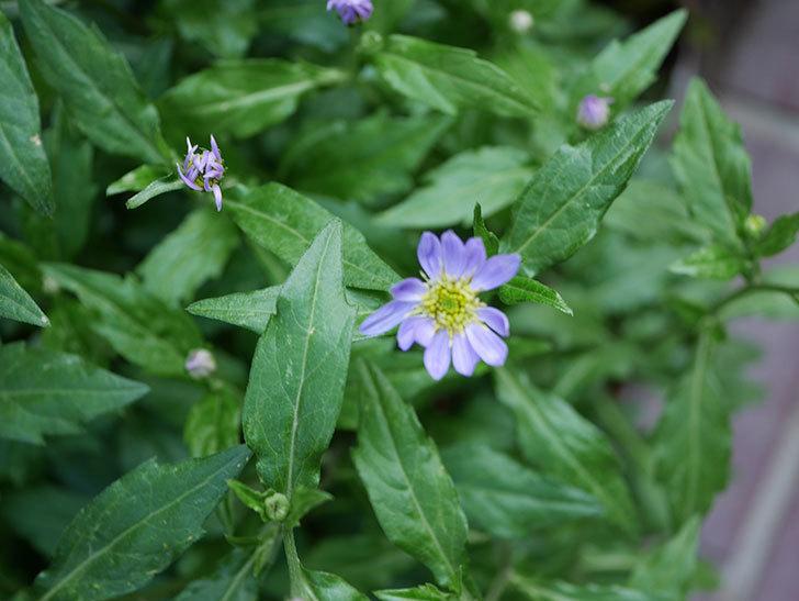 うすい紫のミヤコワスレ(ノシュンギク)の花が咲いた。2021年-010.jpg