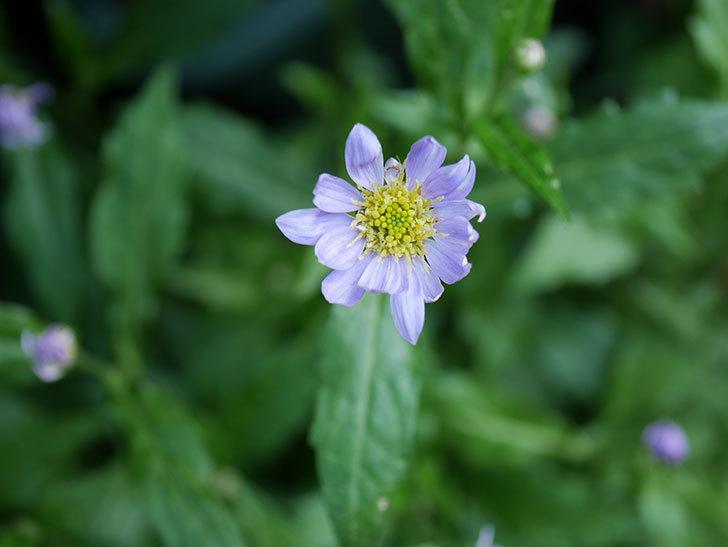 うすい紫のミヤコワスレ(ノシュンギク)の花が咲いた。2021年-011.jpg
