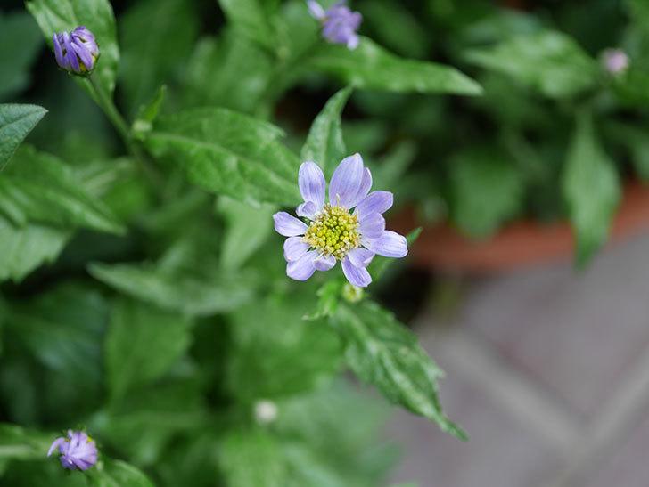 うすい紫のミヤコワスレ(ノシュンギク)の花が咲いた。2021年-012.jpg