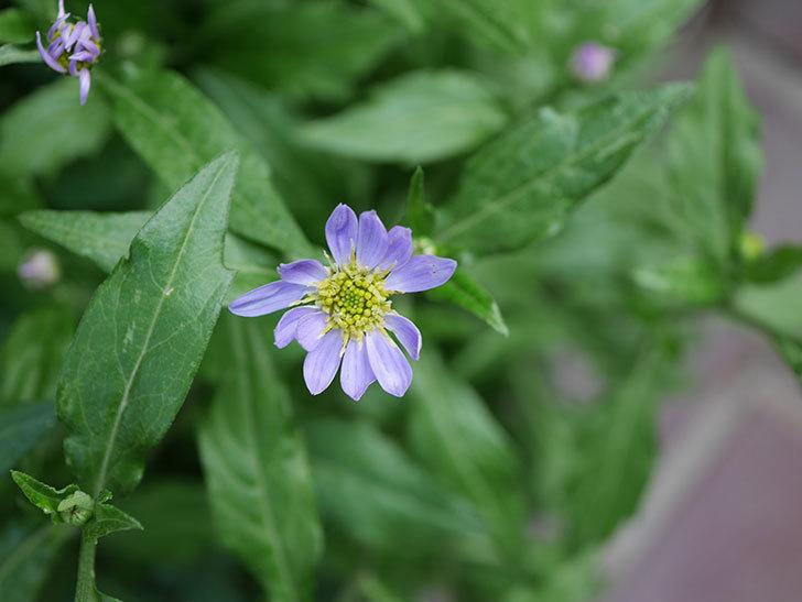うすい紫のミヤコワスレ(ノシュンギク)の花が咲いた。2021年-013.jpg