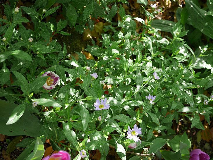 うすい紫のミヤコワスレ(ノシュンギク)の花が咲いた。2021年-014.jpg