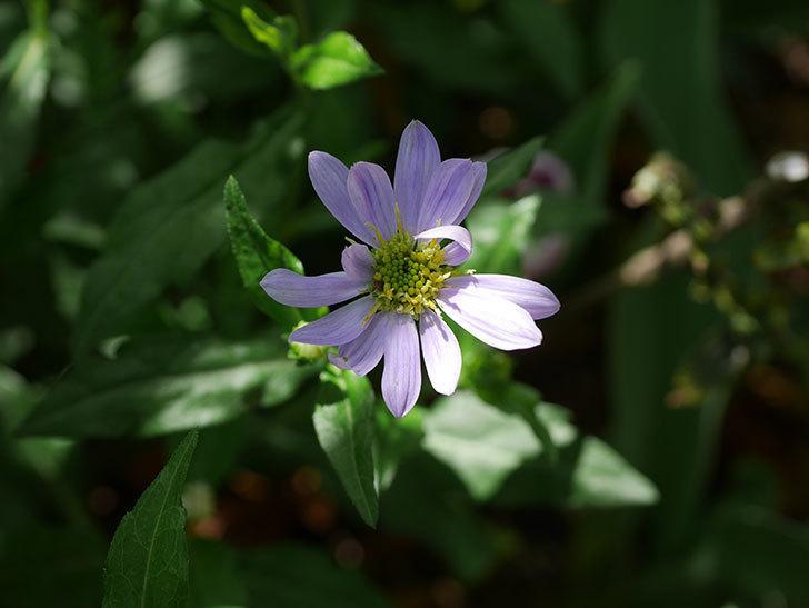 うすい紫のミヤコワスレ(ノシュンギク)の花が咲いた。2021年-015.jpg
