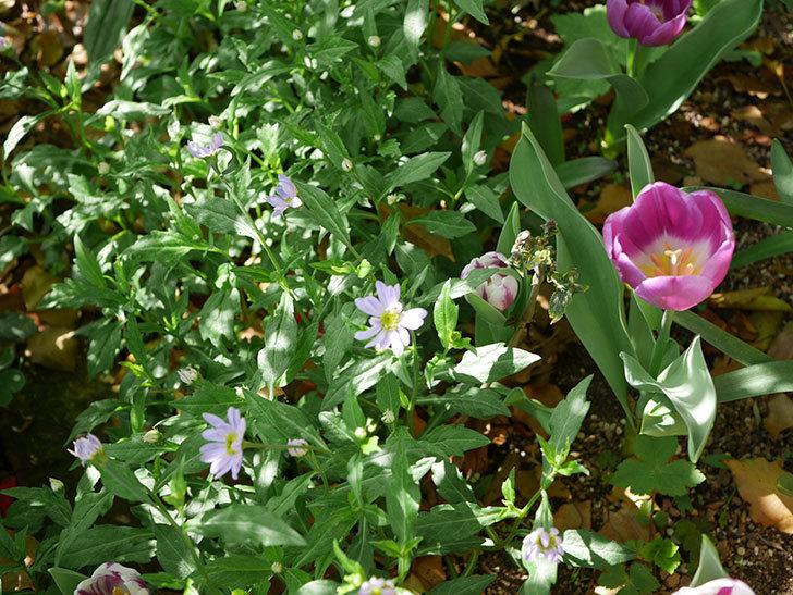 うすい紫のミヤコワスレ(ノシュンギク)の花が咲いた。2021年-016.jpg