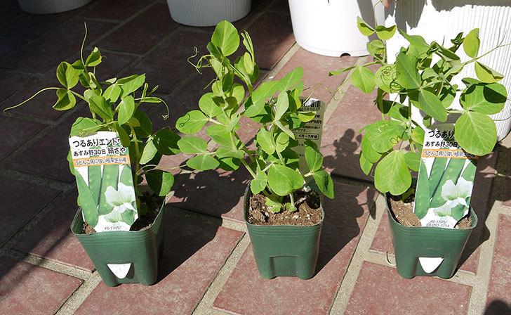 つるありエンドウ白花種の苗をケイヨーデイツーで3個買ってきた1.jpg