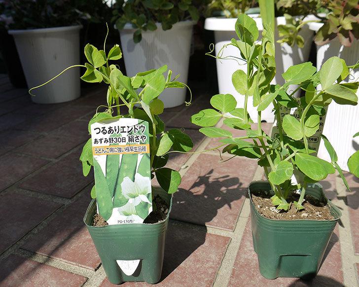 つるありエンドウ白花種の苗をケイヨーデイツーで3個買ってきた2.jpg