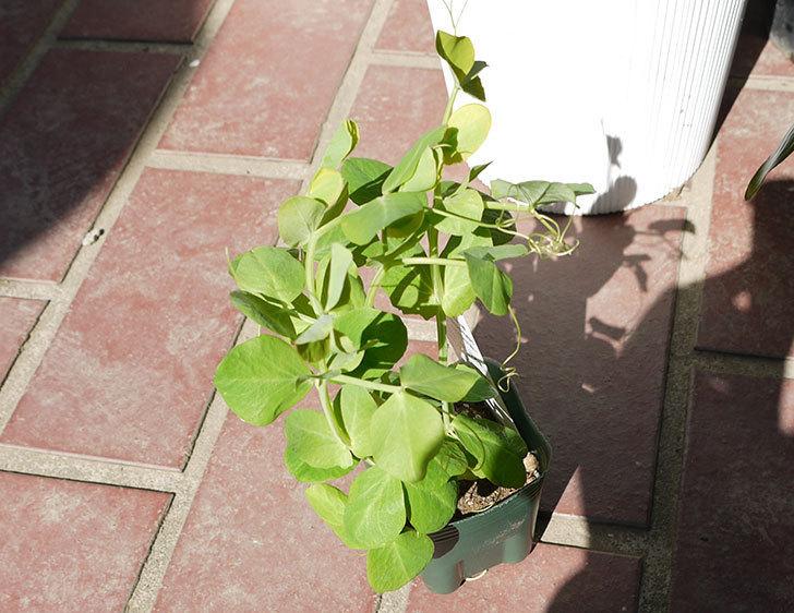 つるありエンドウ白花種の苗をケイヨーデイツーで3個買ってきた3.jpg