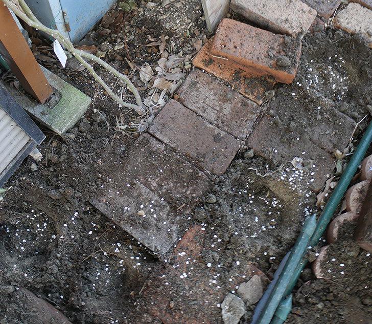 つるアイスバーグ(ツルバラ)に寒肥を施した。2019年-4.jpg