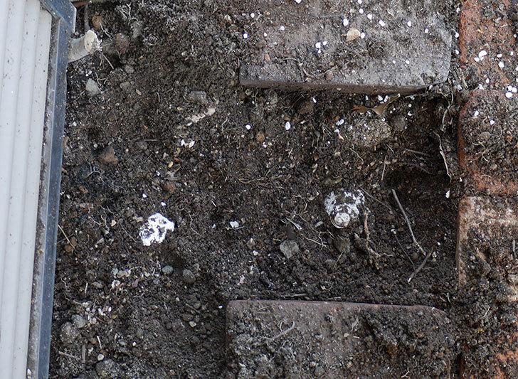 つるアイスバーグ(ツルバラ)に寒肥を施した。2019年-6.jpg