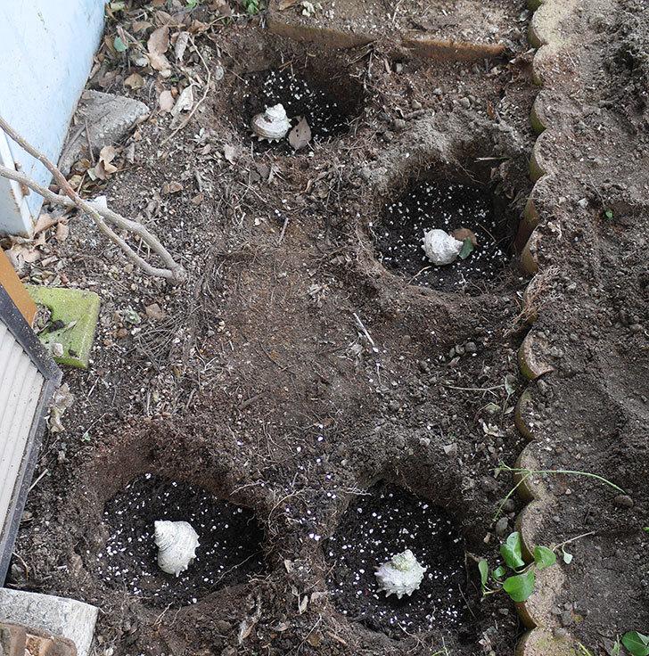 つるアイスバーグ(ツルバラ)に寒肥を施した。2020年-2.jpg