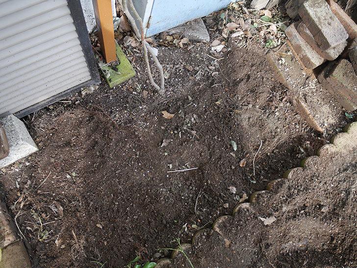 つるアイスバーグ(ツルバラ)に寒肥を施した。2020年-3.jpg