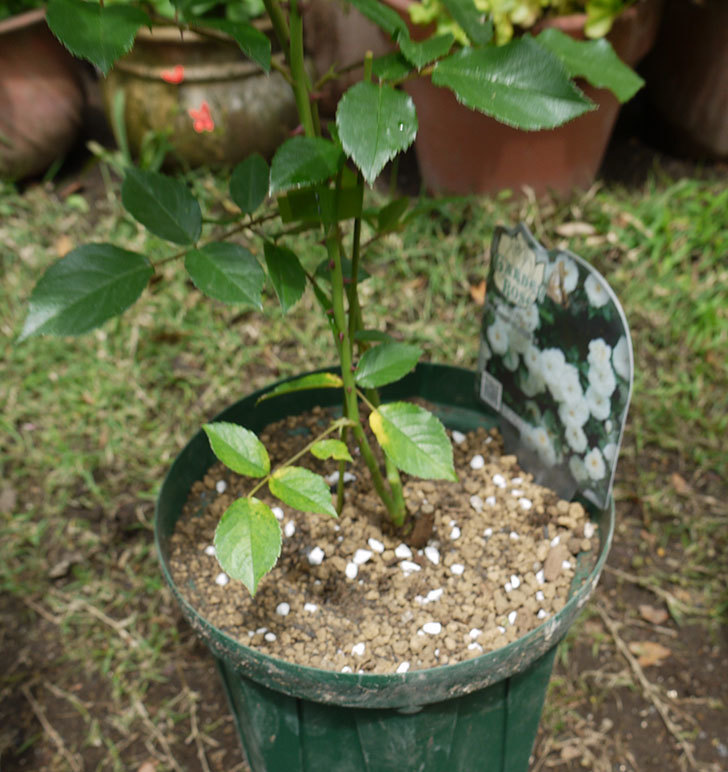 つるアイスバーグ(ツルバラ)の新苗を6号のロングスリット鉢に植えた。2016年-1.jpg
