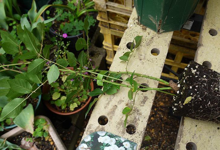 つるアイスバーグ(ツルバラ)の新苗を6号のロングスリット鉢に植えた。2016年-2.jpg