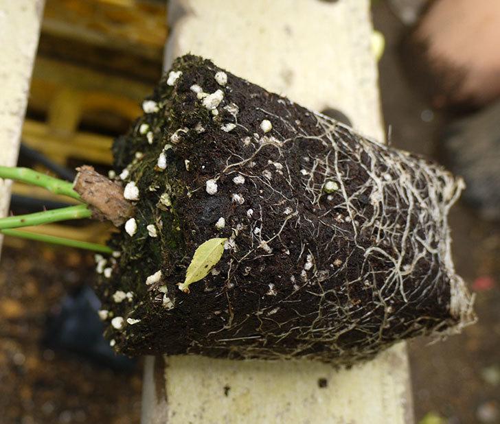 つるアイスバーグ(ツルバラ)の新苗を6号のロングスリット鉢に植えた。2016年-3.jpg