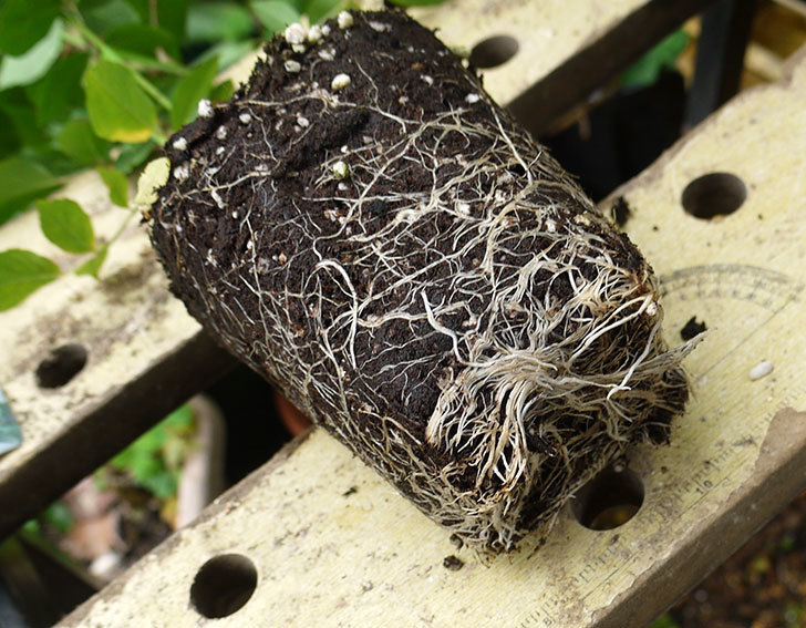 つるアイスバーグ(ツルバラ)の新苗を6号のロングスリット鉢に植えた。2016年-4.jpg