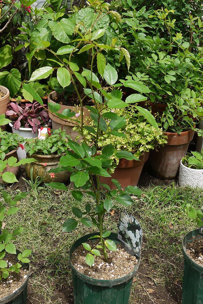 つるアイスバーグ(ツルバラ)の新苗を6号のロングスリット鉢に植えた。2016年-5.jpg