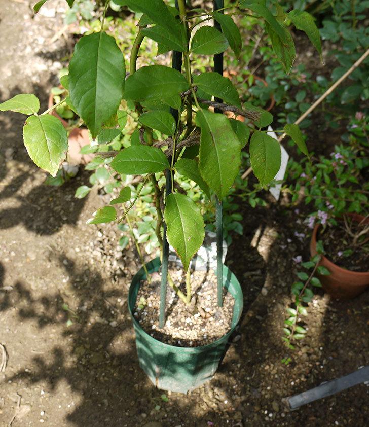 つるアイスバーグ(ツルバラ)の新苗を8号のEUロングスリット鉢に鉢増しした。2016年-3.jpg