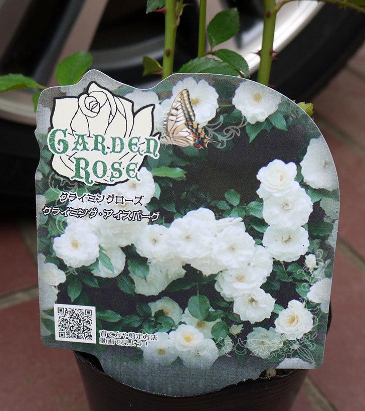つるアイスバーグ(ツルバラ)の新苗買って来た。2016年-4.jpg
