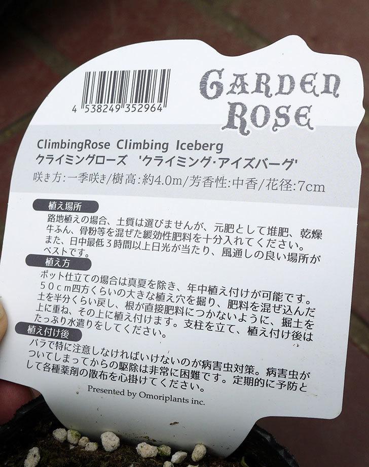 つるアイスバーグ(ツルバラ)の新苗買って来た。2016年-5.jpg