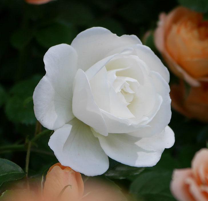 つるアイスバーグ(ツルバラ)の花が咲いた。2019年-2.jpg