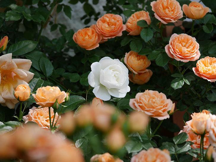 つるアイスバーグ(ツルバラ)の花が咲いた。2019年-3.jpg