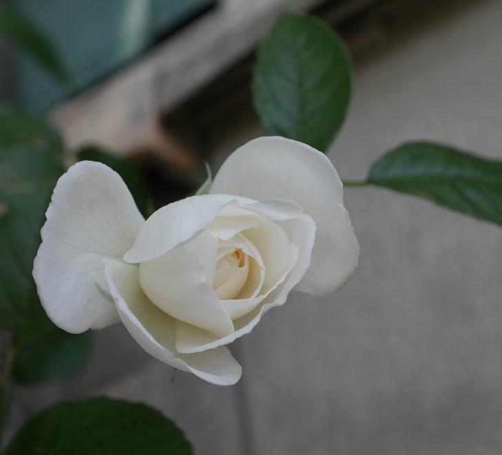 つるアイスバーグ(ツルバラ)の花が咲いた。2019年-4.jpg