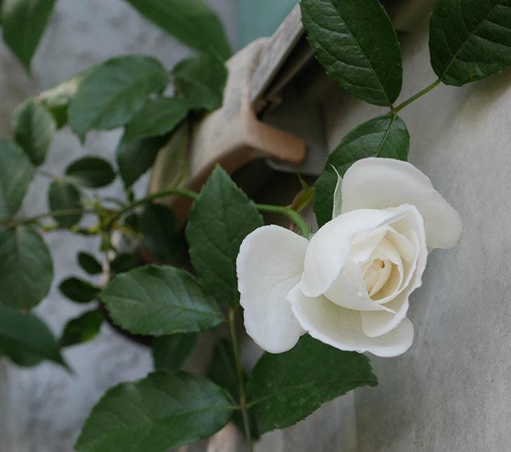 つるアイスバーグ(ツルバラ)の花が咲いた。2019年-5.jpg