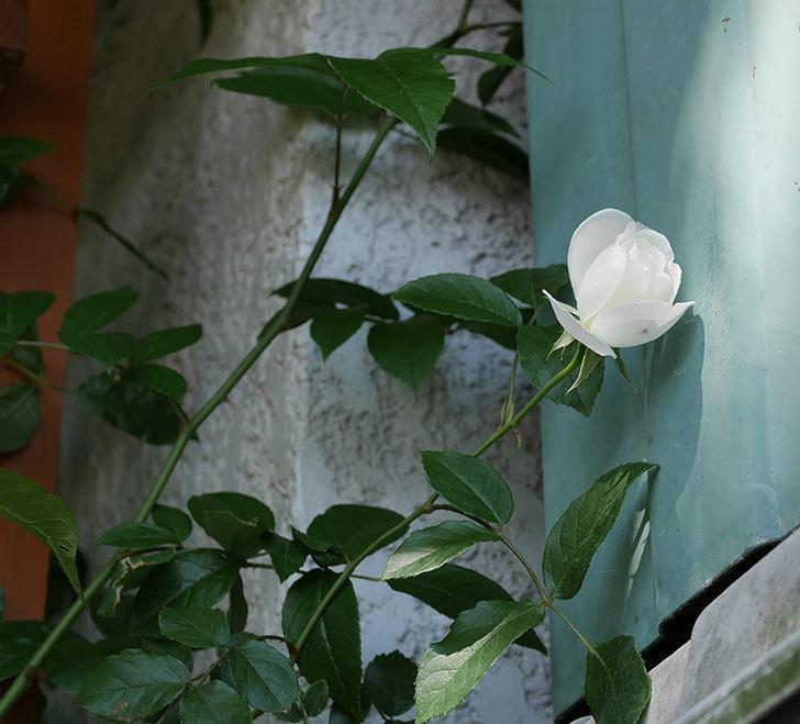 つるアイスバーグ(ツルバラ)の花が咲いた。2019年-6.jpg