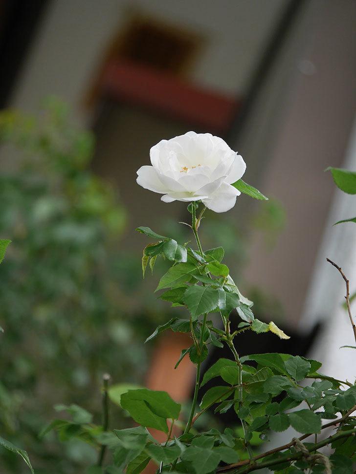 つるアイスバーグ(ツルバラ)の花が咲いた。2020年-001.jpg