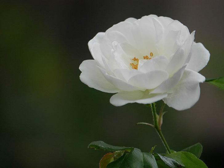 つるアイスバーグ(ツルバラ)の花が咲いた。2020年-002.jpg
