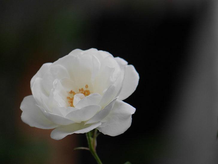 つるアイスバーグ(ツルバラ)の花が咲いた。2020年-003.jpg