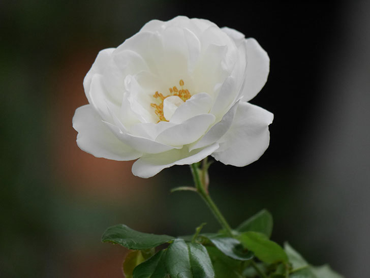 つるアイスバーグ(ツルバラ)の花が咲いた。2020年-004.jpg