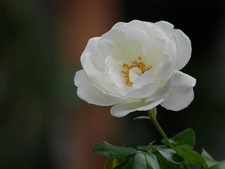 つるアイスバーグ(ツルバラ)の花が咲いた。2020年-005.jpg