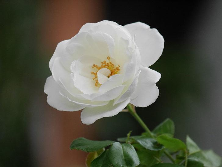 つるアイスバーグ(ツルバラ)の花が咲いた。2020年-006.jpg