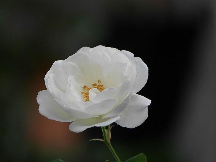 つるアイスバーグ(ツルバラ)の花が咲いた。2020年-007.jpg