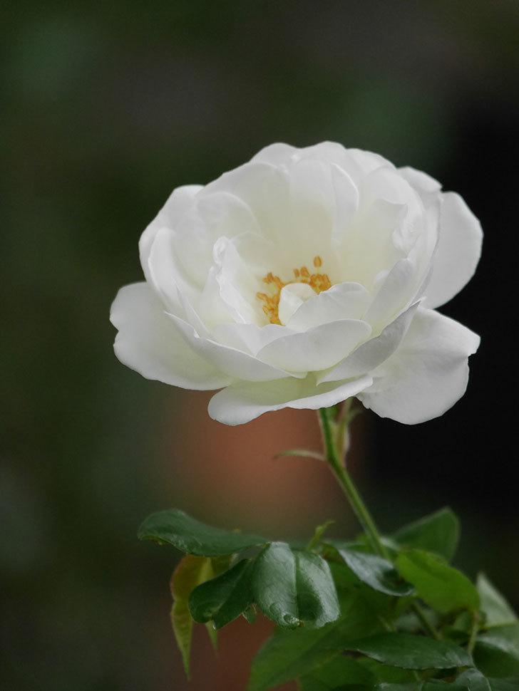 つるアイスバーグ(ツルバラ)の花が咲いた。2020年-008.jpg