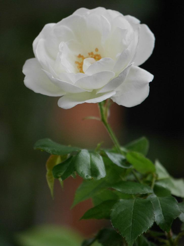 つるアイスバーグ(ツルバラ)の花が咲いた。2020年-009.jpg