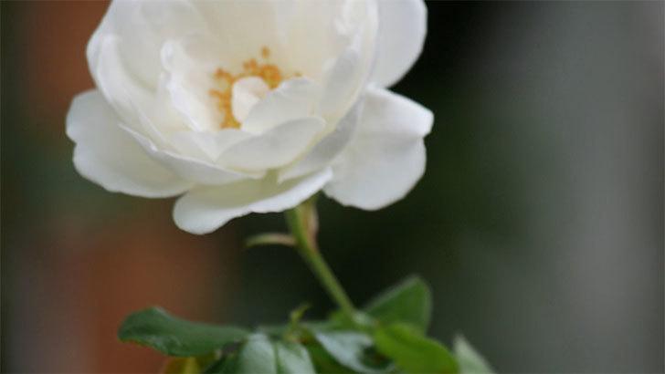 つるアイスバーグ(ツルバラ)の花が咲いた。2020年-010.jpg