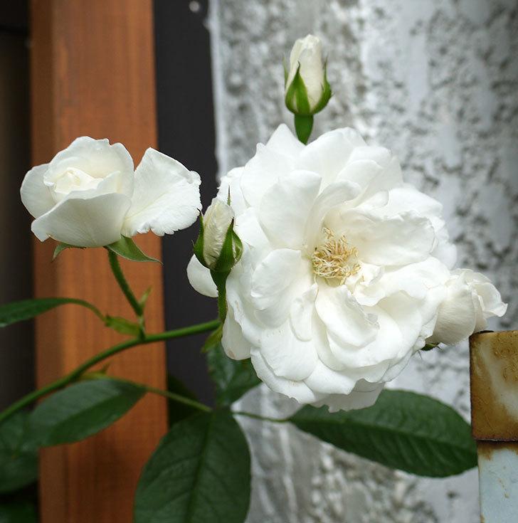 つるアイスバーグ(ツルバラ)の花が増えてきた。2017年-4.jpg