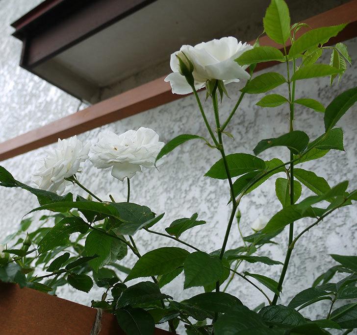 つるアイスバーグ(ツルバラ)の花が増えてきた。2017年-5.jpg