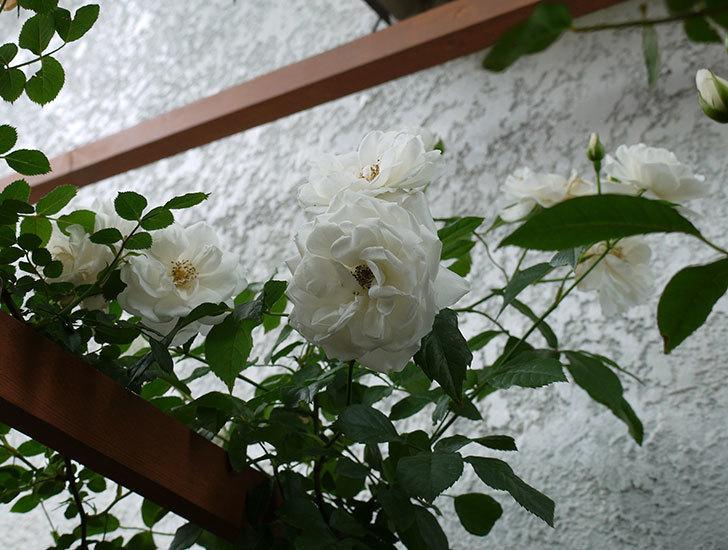 つるアイスバーグ(ツルバラ)の花が増えてきた。2017年-6.jpg