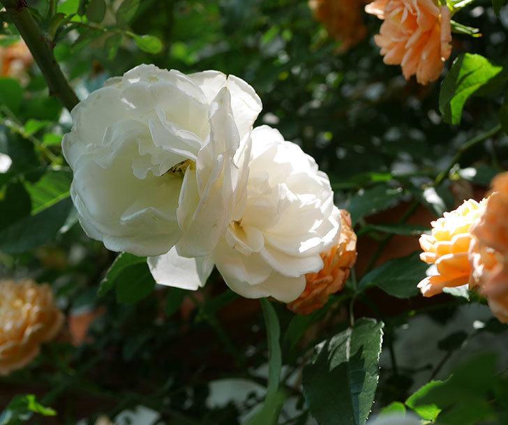つるアイスバーグ(ツルバラ)の花が増えて来た。2019年-1.jpg
