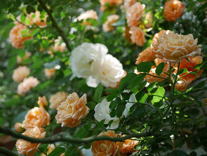 つるアイスバーグ(ツルバラ)の花が増えて来た。2019年-10.jpg