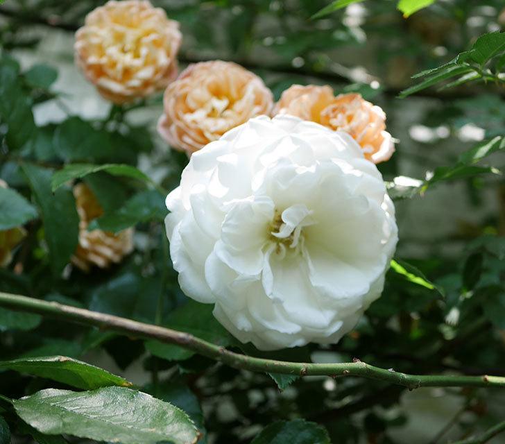 つるアイスバーグ(ツルバラ)の花が増えて来た。2019年-2.jpg