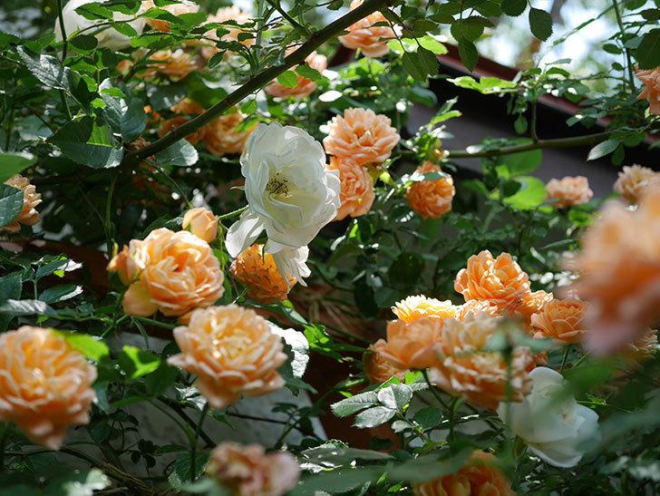 つるアイスバーグ(ツルバラ)の花が増えて来た。2019年-3.jpg