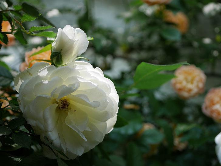 つるアイスバーグ(ツルバラ)の花が増えて来た。2019年-4.jpg