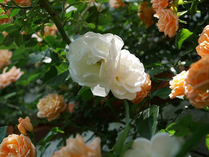 つるアイスバーグ(ツルバラ)の花が増えて来た。2019年-5.jpg