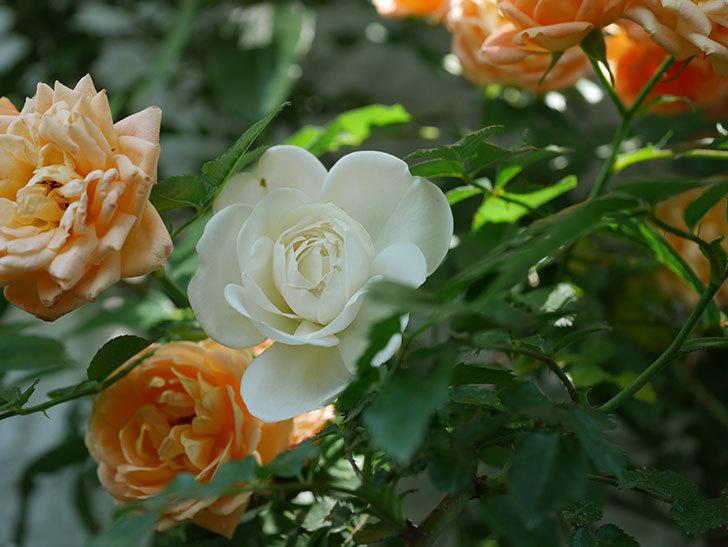 つるアイスバーグ(ツルバラ)の花が増えて来た。2019年-6.jpg