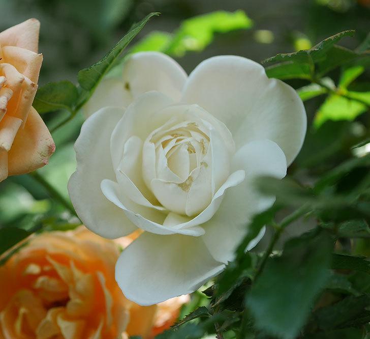 つるアイスバーグ(ツルバラ)の花が増えて来た。2019年-7.jpg