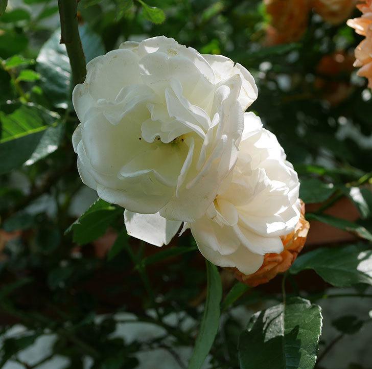 つるアイスバーグ(ツルバラ)の花が増えて来た。2019年-8.jpg